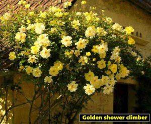 Golden-shower-climber